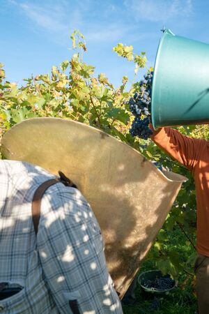 Detail view of wine farmers collecting their Cabernet Sauvignon grapes as they harvest their vineyard