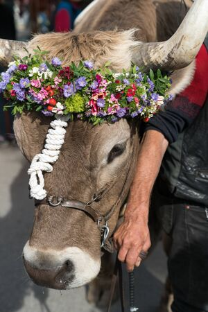 A close up of a decorated prize steer in the Swiss Alps