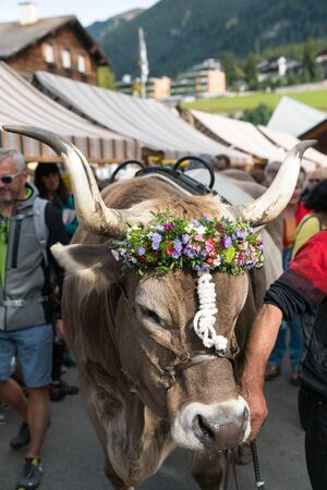 Savognin, GR  Switzerland, - 12 October, 2019: close up of a decorated prize steer in the Swiss Alps 報道画像