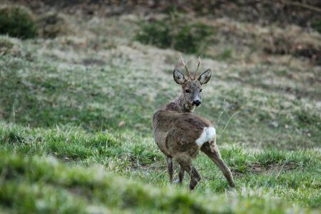 young male roebuck deer shedding ist winter coat in late spring in the Swiss Alps