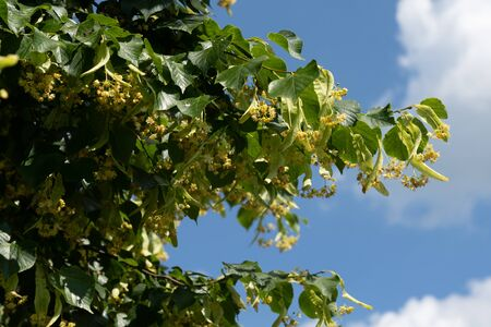 A close up view of blooming linden tree blossoms usable for herbal medicinal tea Reklamní fotografie