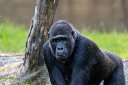 view of a large male gorilla