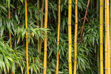 A horizontal abstract close up of dense thick bamboo forest as background 免版税图像