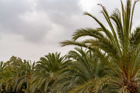A forest of palm trees under an expressive overcast sky with copy space Reklamní fotografie