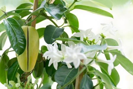 A stephanotis plant with several white flower buds and fruit  Stock Photo