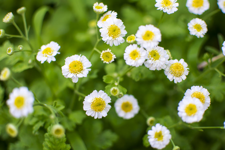 Flowers chamomile on a blurred background