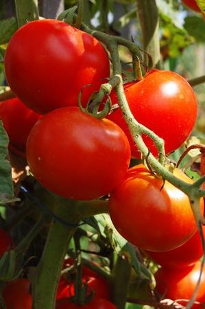 tomate cherry: Tomates