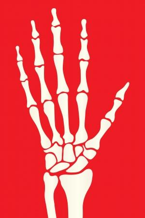 Hand skeleton Stock Vector - 15551150