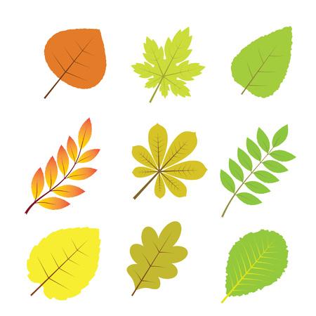 chokeberry: Autumn leaves.Isolated on white background. Vector illustration. Autumn decoration.