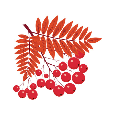 rowan bunch, rowan composition, rowan leaves, rowan berries, rowan Isolated on white background, bunch of juicy rowan berries. Illustration