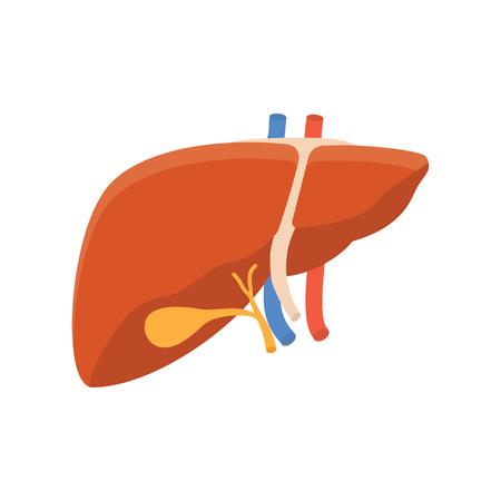 hepatic portal vein: Human liver icon, internal human organ isolated, vector illustration