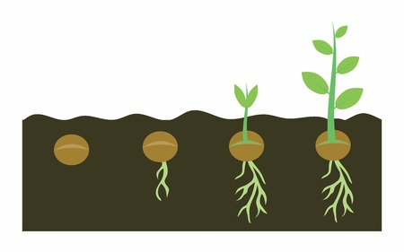 plants growing with planting process, germination pea seeds in soil