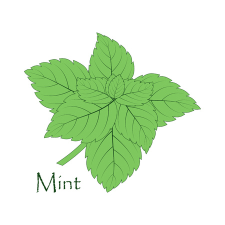 sprig of green mint on white, background with fragrant ingredient for tea, flavoring seasoning for different dishes