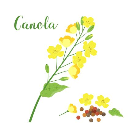 vector canola flower and rapeseeds isolated on white background, canola text, mustard plant yellow blossom