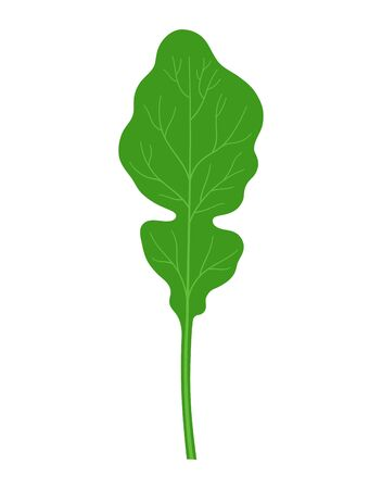 rucola or arugula in cartoon flat style isolated on white background, vegetable organic product from the farm, vector illustration