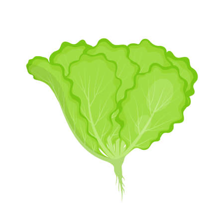 green lettuce leaves isolated on white background, fresh ingredient for salad in flat style, healthy organic vegetarian food, vector Illustration