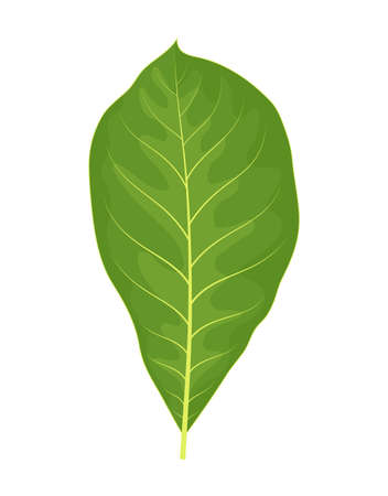vector colorful illustration of walnut leaf isolated on white background Illustration