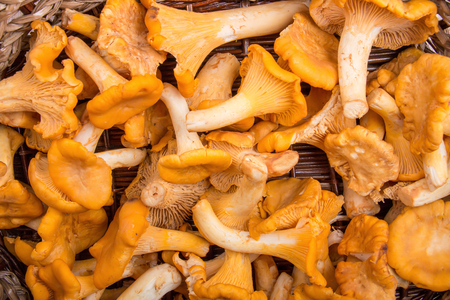 Chanterelle mushrooms in wicker basket. Top view. Stock Photo