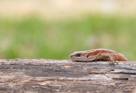Lizard sitting on old log in nature Stock Photo