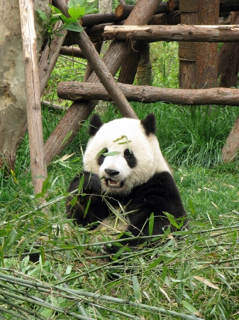 baby giant pandas eating bamboo in chengdu giant panda research