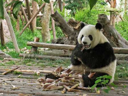 oso panda: Adultos pandas gigantes comen bamb� en Chengdu Giant Panda Research