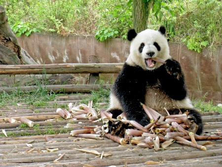 oso panda: Panda gigante