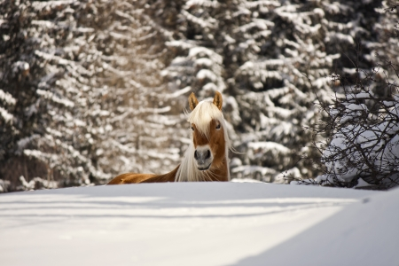 trentino: horse in the snow