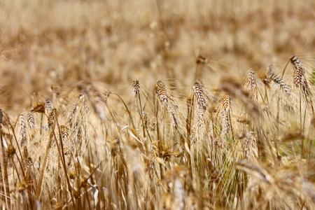 Golden mature wheat field 版權商用圖片