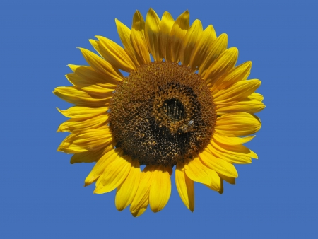 Golden Isolated Sunflower with a Bee photo