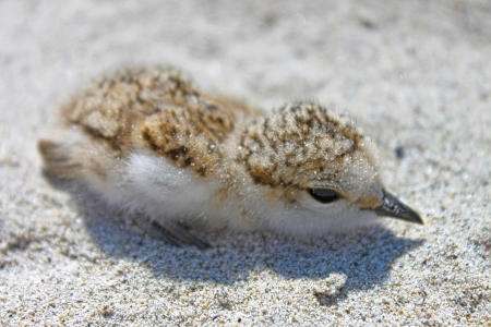 Charadrius alexandrinus, a fledgling on the beach Stock Photo - 16450313