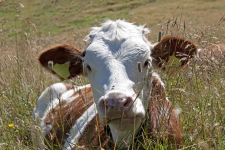 alimentation: ruminant cow Stock Photo