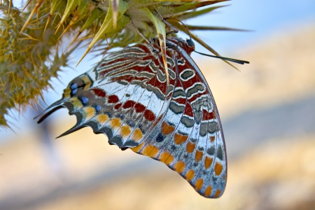 an exotic butterfly on a thistle flower