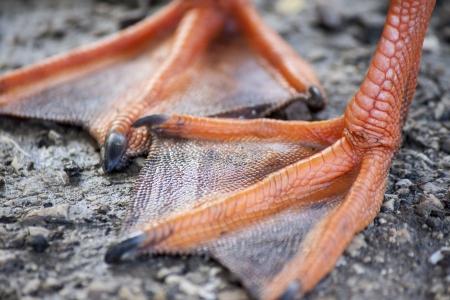 close up of two palmate duck legs 版權商用圖片