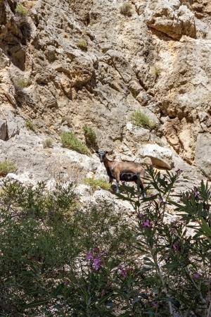 mountain goats: Capre di montagna a Traxoulas canyon