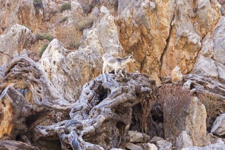mountain goats: capre di montagna arrampicata sulle rocce