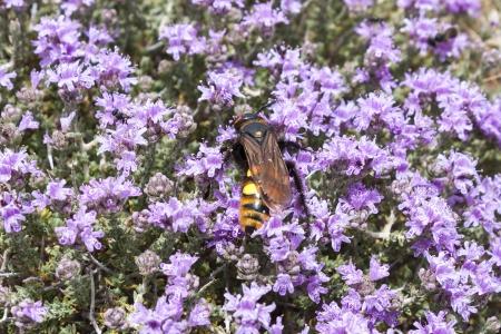 Buzzing Bee on thyme flowers, Crete Island, Greece