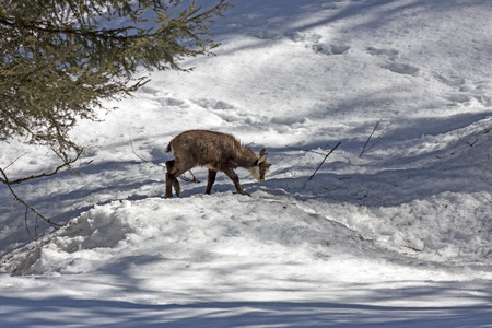 wilds: Puppy chamois in the National Park, Aosta Stock Photo