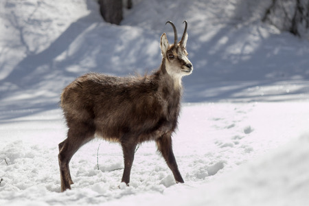 mountain goats: Superb chamois in the National Park, Aosta