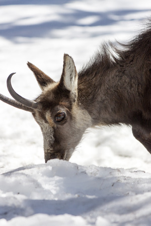 wilds: Chamois in the National Park, Aosta Stock Photo
