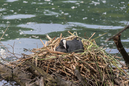 brooding: a coot brooding in the nest Stock Photo