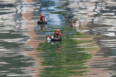 crested duck: two males and a female Red-crested turkish