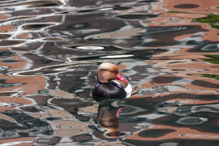 crested duck: a male Red-crested turkish swimming