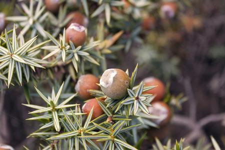 protected plant: Cone of juniperus oxycedrus macrocarpa Stock Photo