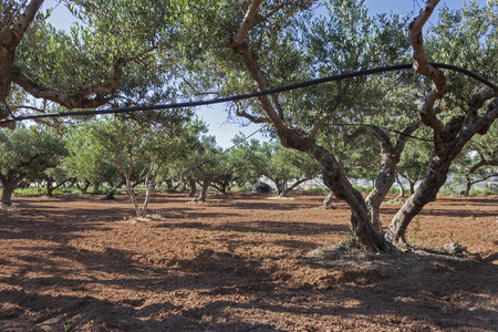 olive groves: Olive Groves in Crete Island, Greece