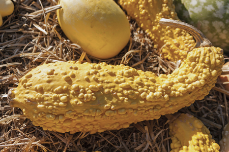gourds: yellow variety of gourds and squashes