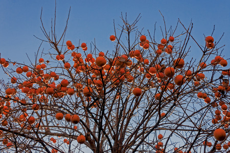 persimmons: A plant of ripe persimmons (kaki) on a blue background