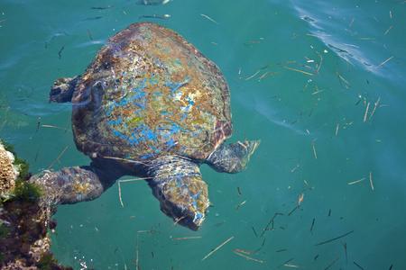 Loggerhead sea turtle in the sea of Cephalonia, Greece