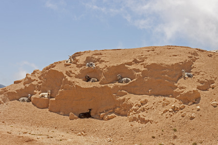 mountain goats: mountain goats climbing on the rocks on the way to assos