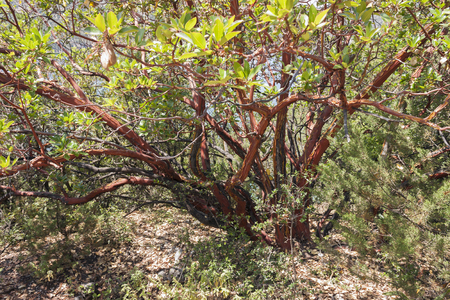 papery: red papery bark of Arbutus Stock Photo