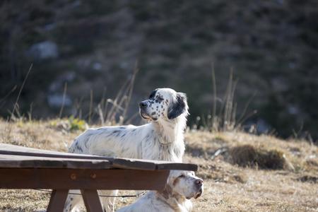 two splendid specimens of setter dog